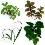 Plantas para bajar de peso